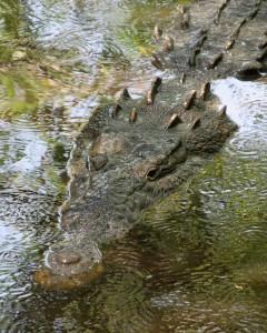 800px-Crocodylus_acutus_mexico_01